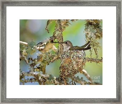 Hummingbird Nesting Framed Print