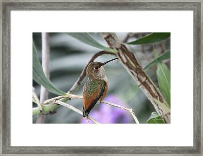 Hummingbird On A Branch Framed Print