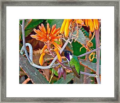 Hummingbird On Aloe In Living Desert In Palm Desert-california Framed Print