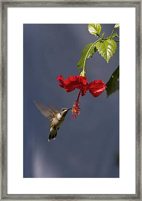 Framed Print featuring the photograph Hummingbird On Hibiscus by Robert Camp