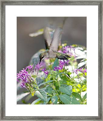 Framed Print featuring the photograph Hummingbird On Penta by Robert Camp