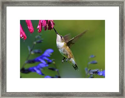 Hummingbird On Wendy's Wish Flower Framed Print by Kathy Baccari