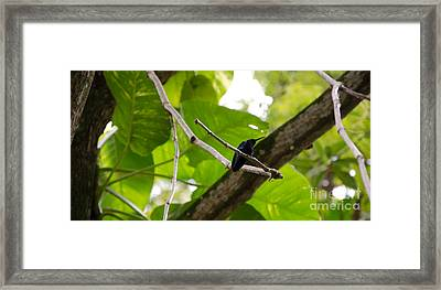 Hummingbird Out On A Limb Framed Print