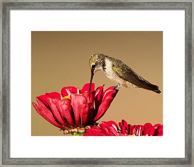 Hummingbird Perched On A Zinnia Framed Print
