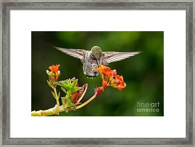 Hummingbird Framed Print by Peter Dang