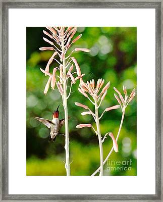 Hummingbird Pink Green - Floating Hummingbird Flashes Red Framed Print by Wayne Nielsen