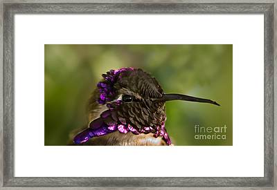 Hummingbird Portrait Framed Print by Robert Bales
