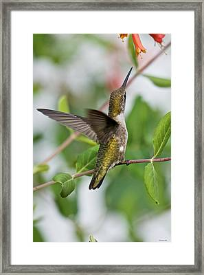 Hummingbird Reaching For The Blossoms Framed Print