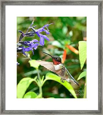 Hummingbird Red Ruby At Purple Bloom Framed Print by Wayne Nielsen