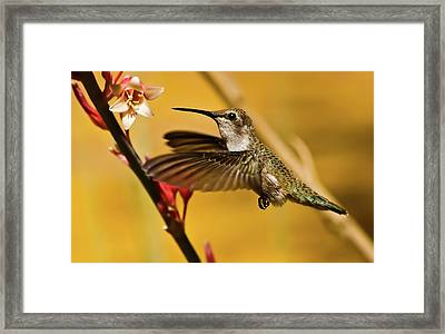 Hummingbird Framed Print by Robert Bales