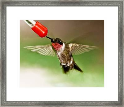 Hummingbird Framed Print by Robert L Jackson