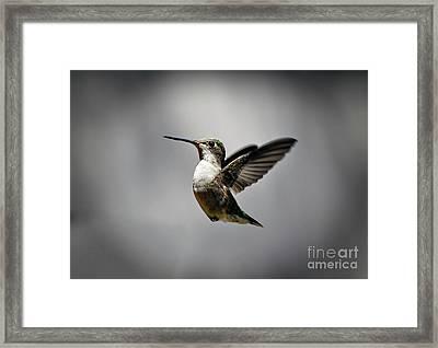 Hummingbird Framed Print by Savannah Gibbs