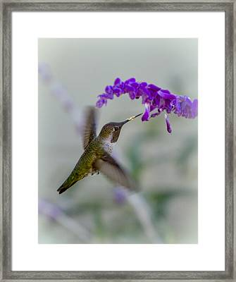 Hummingbird Series 01 Framed Print