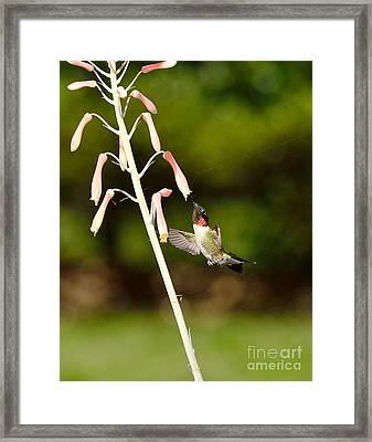 Hummingbird Sips Deep - Arches In Perfect Form Into Trumphet Framed Print by Wayne Nielsen
