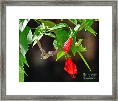 Hummingbird Soars By Red Blooms Framed Print