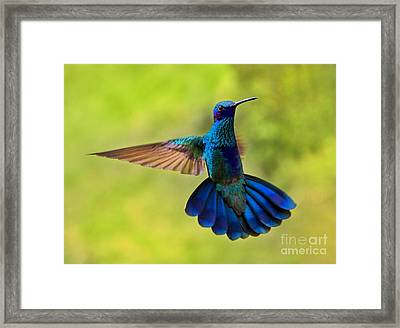 Hummingbird Splendour Framed Print by Al Bourassa