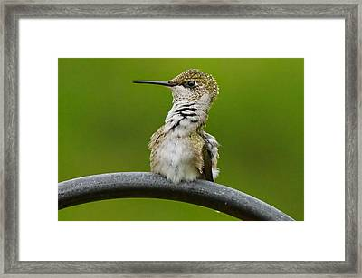 Hummingbird Stretching  Framed Print by Alan Hutchins
