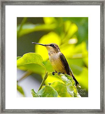 Hummingbird Framed Print by Stuart Mcdaniel