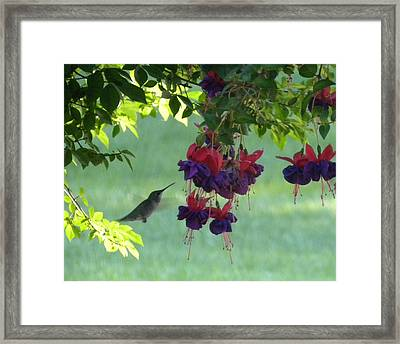 Framed Print featuring the photograph Hummingbird by Teresa Schomig