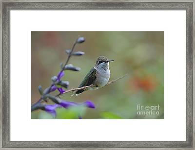 Hummingbird Framed Print by Tim Good