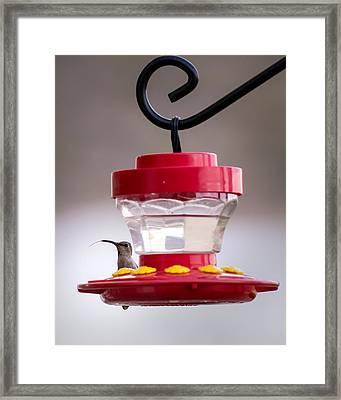 Hummingbird Tongue Framed Print