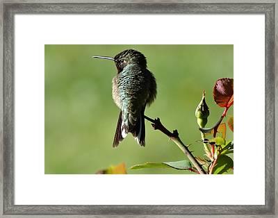 Hummingbird Visits At Sunrise Framed Print by Rebecca Overton