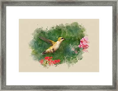 Hummingbird - Watercolor Art Framed Print by Christina Rollo