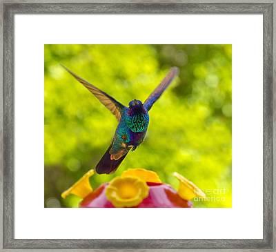 Hummingbird Winging Away Framed Print