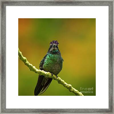 Hummingbird With A Lilac Crown Framed Print
