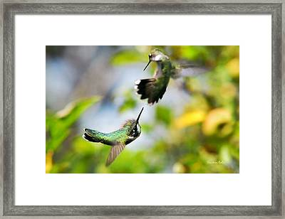 Hummingbirds Ensuing Battle Framed Print by Christina Rollo