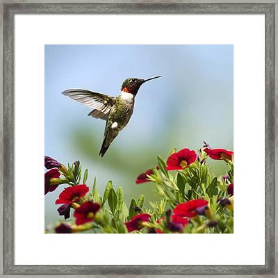 Hummingbirds Frolic Square Framed Print