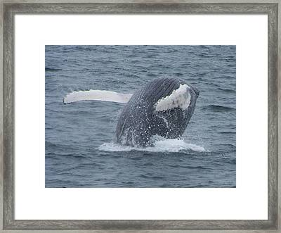Humpback Breach Framed Print by Noreen HaCohen