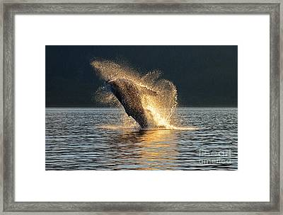 Humpback Breaching At Sunset Framed Print by Melody Watson