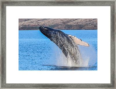Humpback Takes Flight Framed Print by Puget  Exposure
