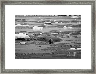 humpback whale back and dorsal fin megaptera novaeangliae logging or sleeping in Fournier Bay Antarc Framed Print by Joe Fox