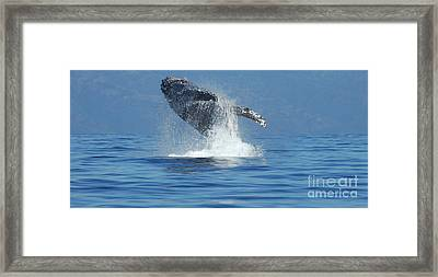 Humpback Whale Breaching Framed Print by Bob Christopher
