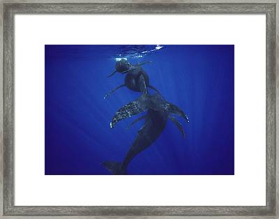 Humpback Whale Calf Mother And Male Framed Print by Flip Nicklin
