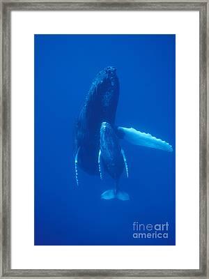 Humpback Whale And Calf Maui Hawaii Framed Print