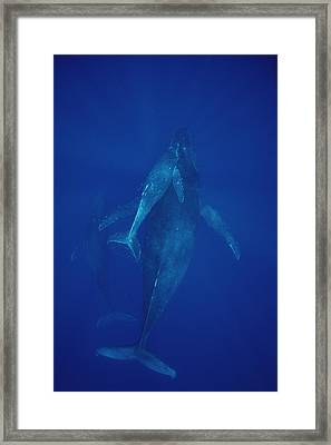 Humpback Whale Cow Calf And Escort Maui Framed Print by Flip Nicklin