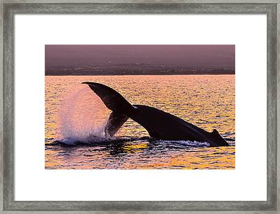 Humpback Whale Dive Sunrise Framed Print by Puget  Exposure