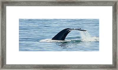 Humpback Whale Diving Framed Print by Sigurdur Aegisson