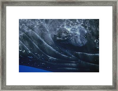 Humpback Whale Eye Of Singer Maui Hawaii Framed Print