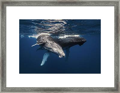 Humpback Whale Family! Framed Print
