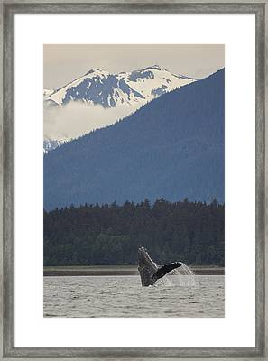 Humpback Whale In Alaska 73a6815  Framed Print by David Orias
