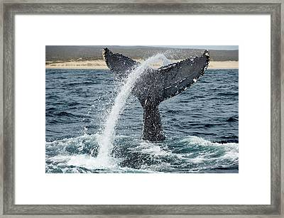 Humpback Whale Lobtailing Framed Print