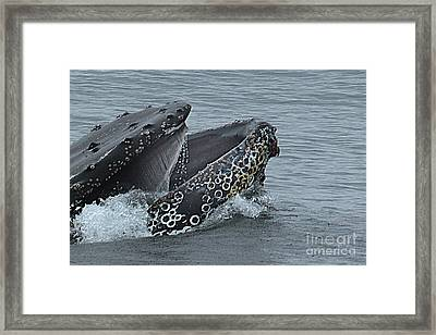 Framed Print featuring the photograph Humpback Whale  Lunge Feeding 2013 In Monterey Bay by California Views Mr Pat Hathaway Archives
