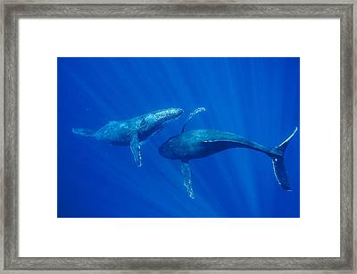 Humpback Whale Males Interacting Maui Framed Print by Flip Nicklin