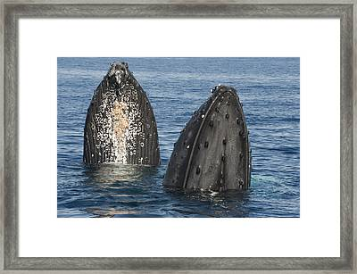 Humpback Whale Males Spyhopping Maui Framed Print by Flip Nicklin
