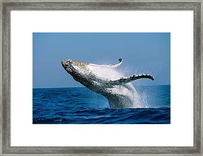 Humpback Whale Megaptera Novaeangliae Framed Print by Panoramic Images