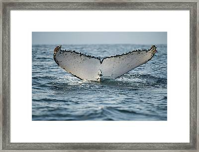 Humpback Whale (megaptera Novaeangliae Framed Print by Pete Oxford